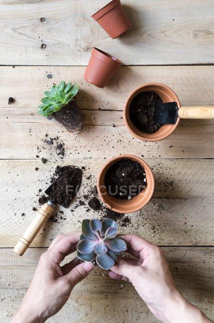 Nahaufnahme menschlicher Hände beim Pflanzen von Kakteenpflanzen — Stockfoto