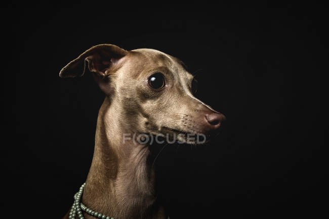 Little italian greyhound dog looking away on black background — Stock Photo
