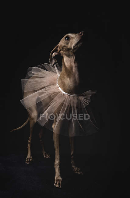 Italian greyhound dog with veil looking up on black background — Stock Photo