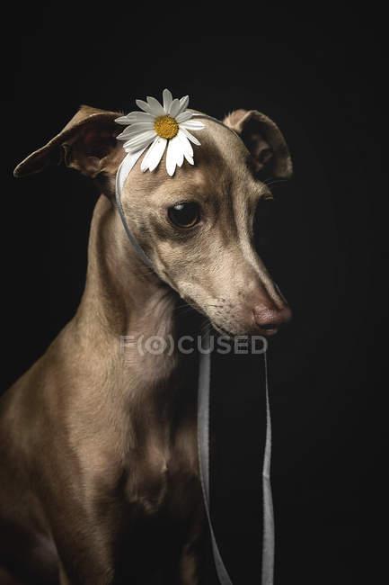 Kleiner italienischer Windhund mit Kamillenblüte auf dem Kopf, der auf schwarzem Hintergrund wegschaut — Stockfoto