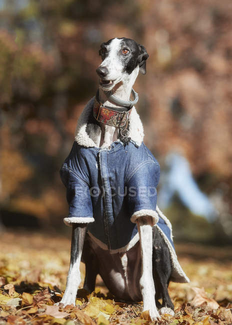 Black-white galgo in warm denim jacket and collar sitting in blurred autumn park — Stock Photo