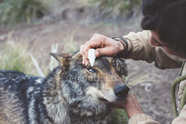 L'uomo che si prende cura degli occhi di lupo nello zoo — Foto stock