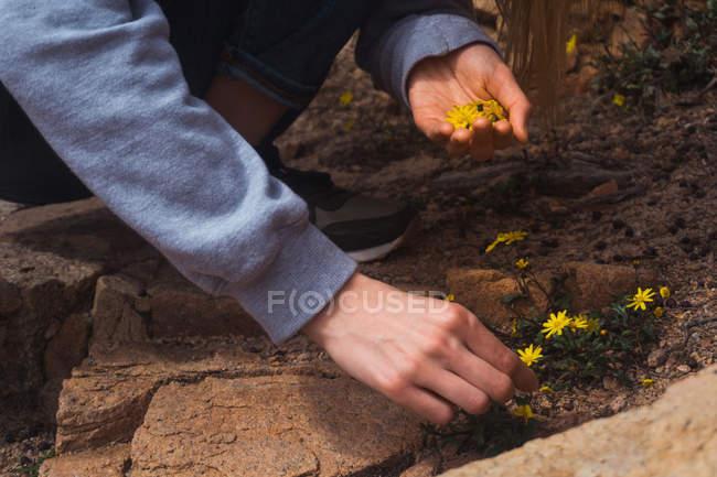 Женские руки сбор маленькие желтые цветущие цветы в природе — стоковое фото
