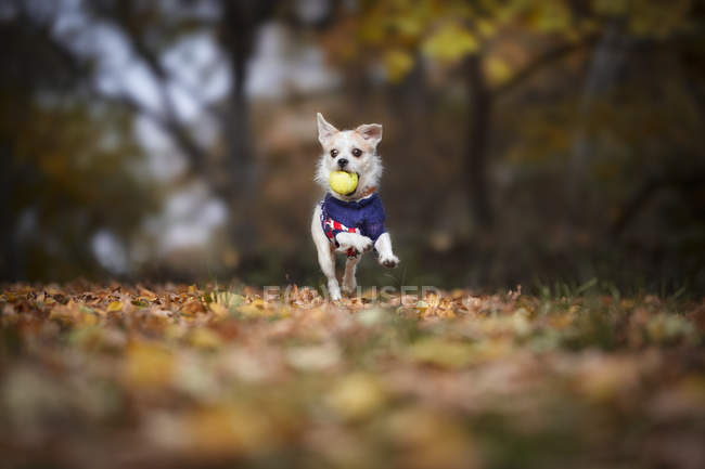 Small dog running in autumn park with ball in mouth — Stock Photo