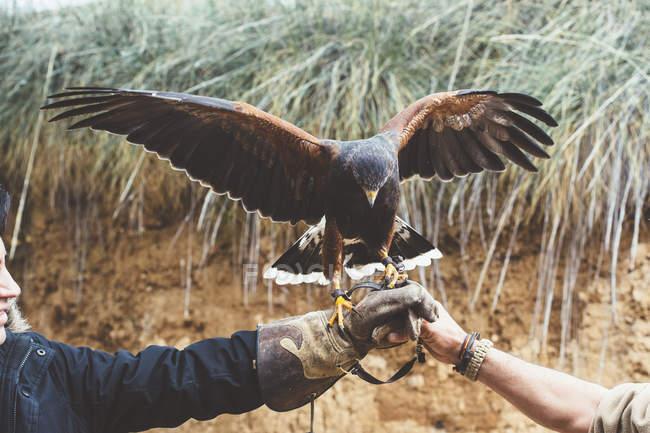 Чоловічої руки проведення falcon з поширенням крила — стокове фото