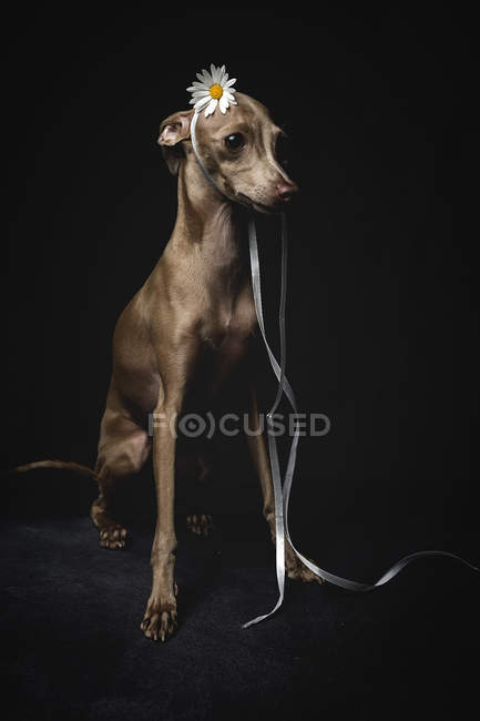 Little italian greyhound dog decorated with flower and ribbon sitting on black background — Stock Photo