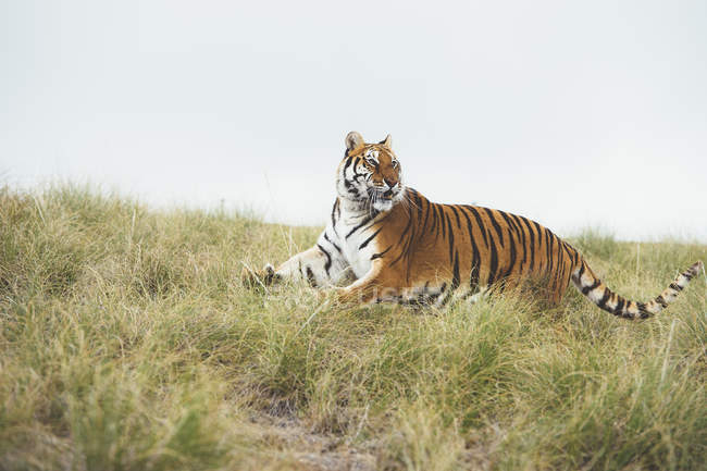 Тигр ходить в зеленой травой и глядя — стоковое фото