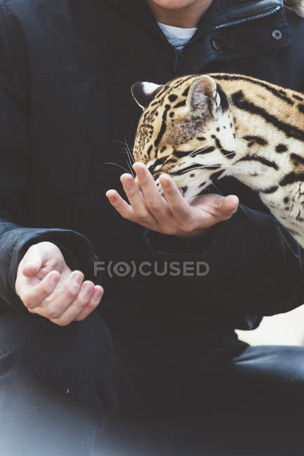 Крупный мужчина кормит леопарда в зоопарке — стоковое фото