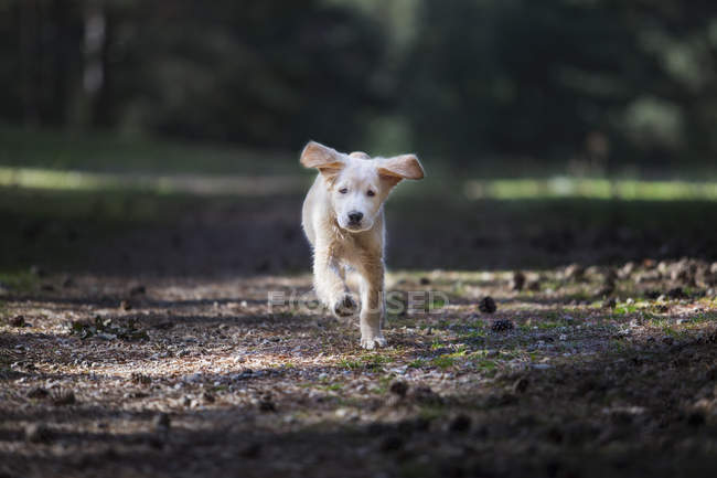 Curious breed golden retriever puppy running in park — Stock Photo