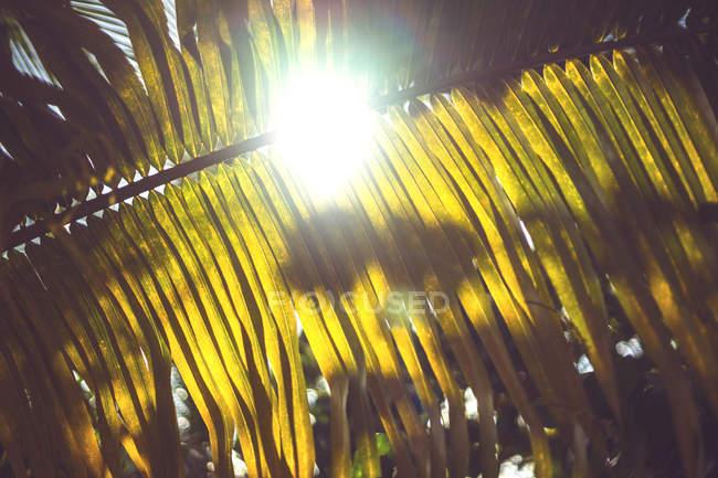 Bright sunlight lighting through huge palm leaf — Stock Photo