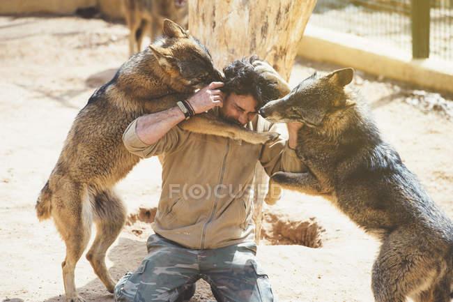 Человек борется с волками в клетке в зоопарке — стоковое фото