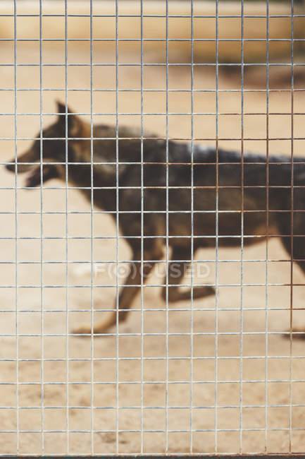 Loup brun en cage avec grille — Photo de stock