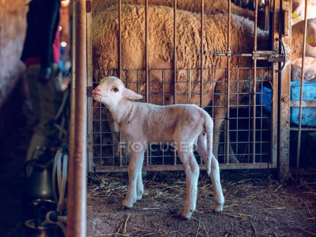 Baby Schaf stehend am Raster — Stockfoto