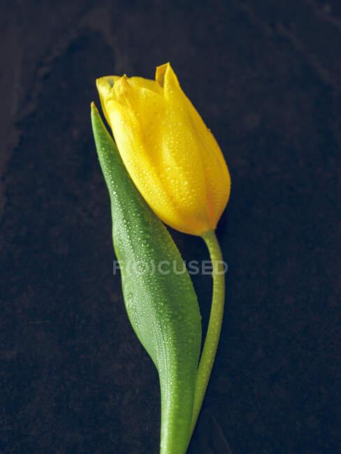 Yellow tulips on dark background — Stock Photo