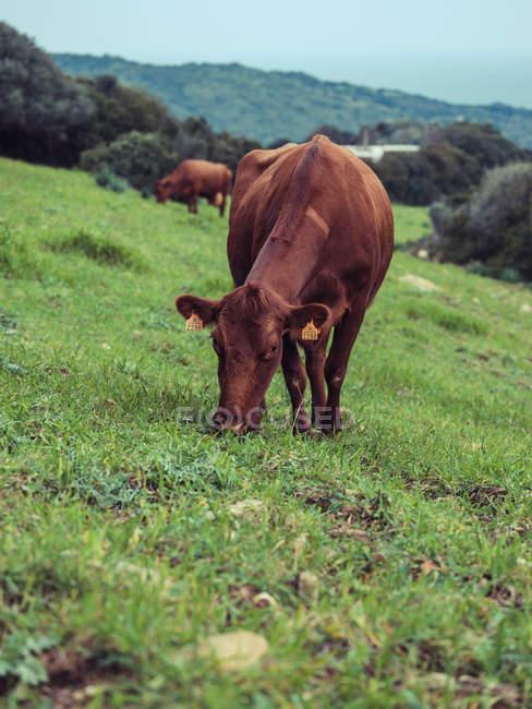 Коричневые коровы, выпас скота на холме — стоковое фото
