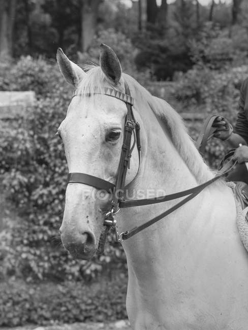 Black and white shot of horse with bridle on meadow in daylight in Belgium. — Stock Photo