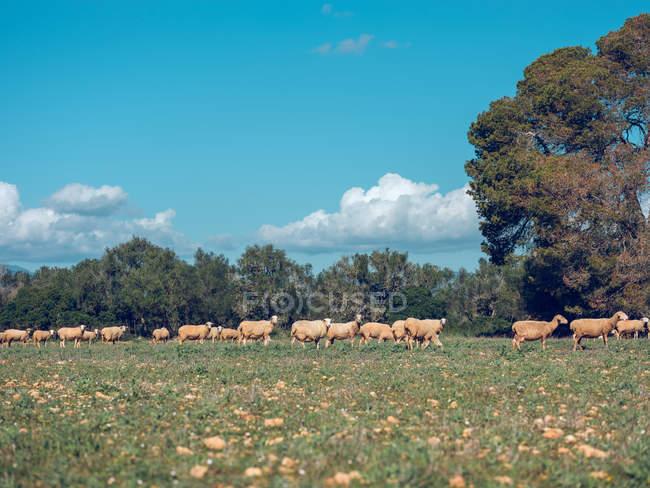 Schafherde weidet auf Rasen — Stockfoto