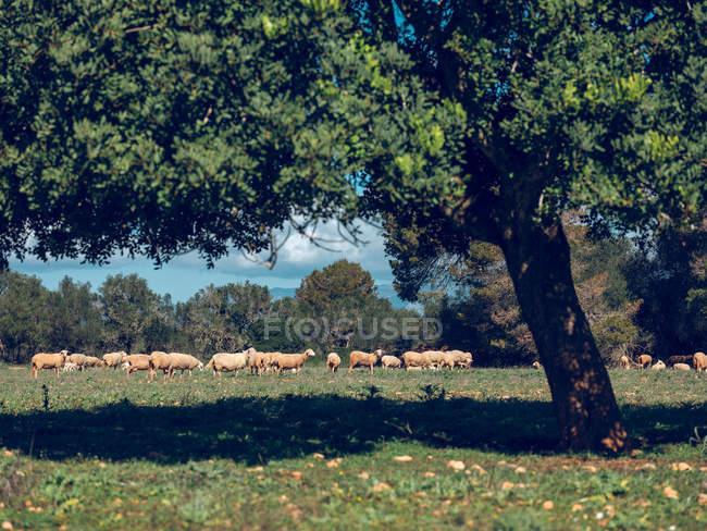 Herde von Schafen Weiden auf Rasen — Stockfoto