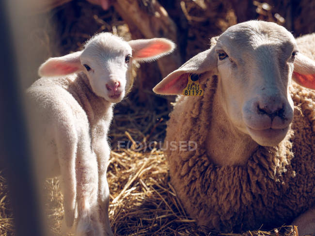 Sheep with tag in ear and baby sheep — Stock Photo