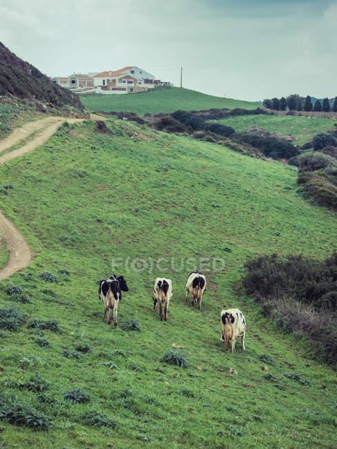 Kühe Weiden auf Hügel — Stockfoto