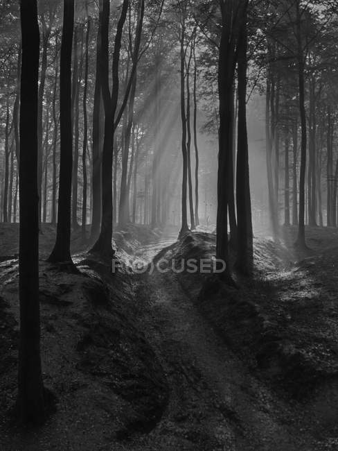 Black and white mysterious view of forest with trees penetrated with sun rays, Belgium. — Stock Photo