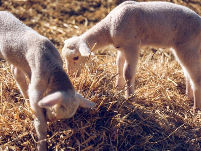 Schaf-Babys stehen im Heu — Stockfoto