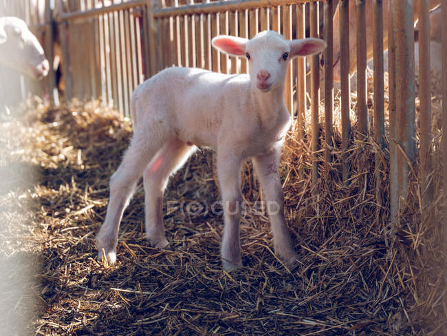 Baby sheep standing at grid — Stock Photo
