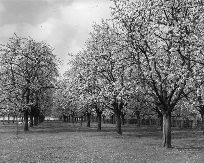Plan noir et blanc de rangées de beaux arbres en fleurs dans le verger de Belgique . — Photo de stock