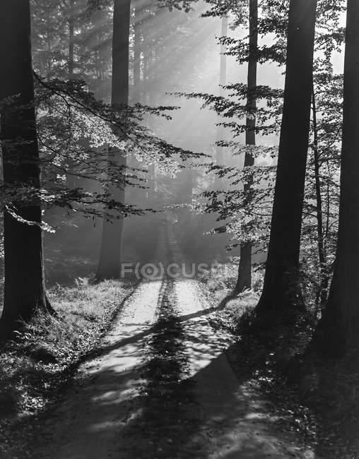 Preto e branco vista misteriosa da floresta com árvores penetradas com raios de sol, Bélgica . — Fotografia de Stock