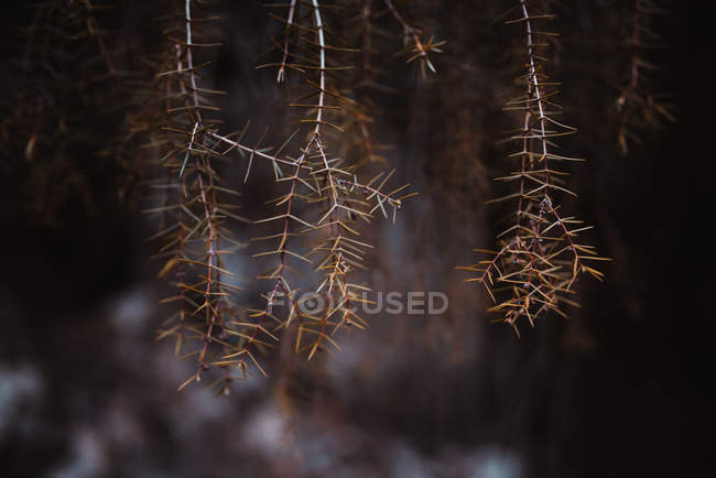 Branches with dry needle leaves — Stock Photo