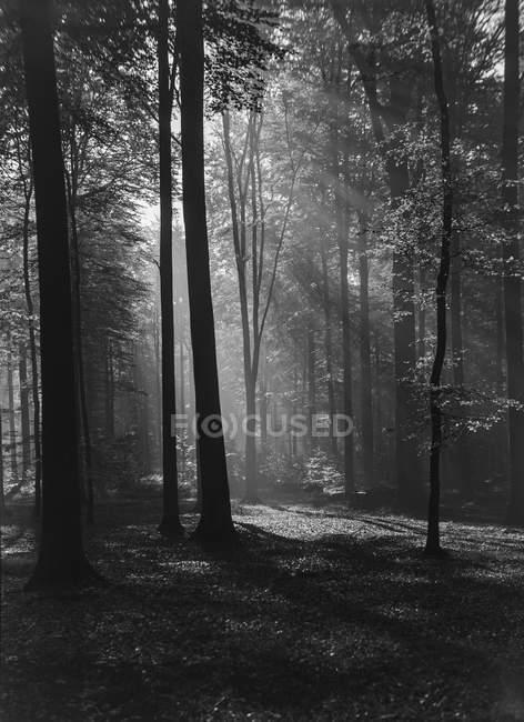 Blanco y negro misteriosa vista del bosque con árboles penetrados por los rayos del sol, Bélgica . - foto de stock