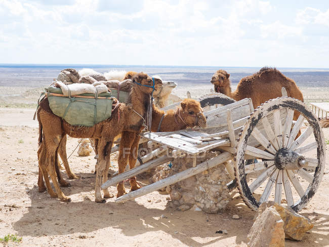Cammelli carovanieri caricati appoggiati su terreni sabbiosi di deserto desolato con carro invecchiato — Foto stock