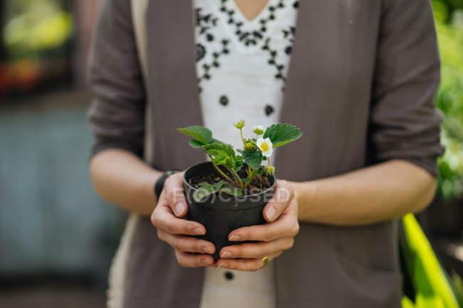Primo piano di mani femminili che tengono viola in vaso — Foto stock