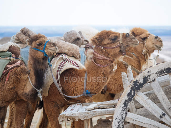 Loaded caravan camels resting on sandy ground of desolate desert with aged cart — Stock Photo