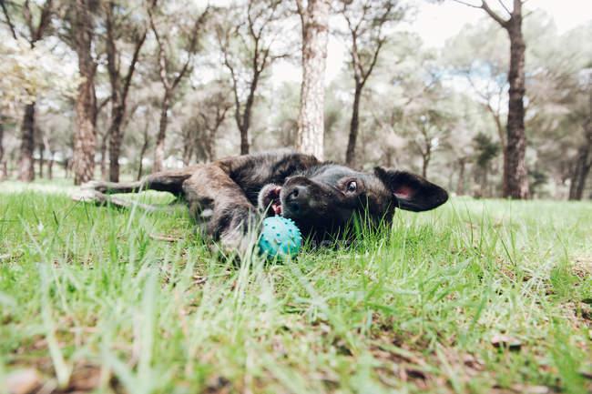 Gran perro marrón jugando felizmente en el bosque con pelota - foto de stock
