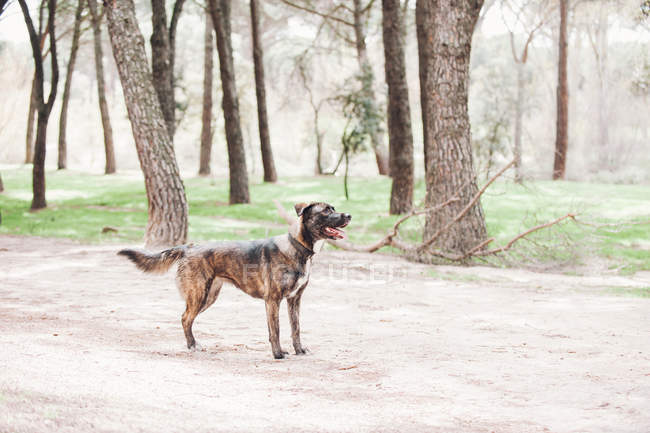 Großer brauner Hund stehend im Wald mit offenem Mund — Stockfoto