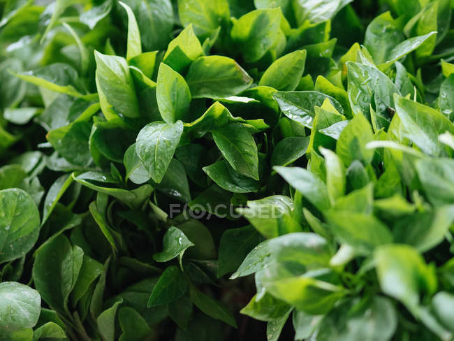 Close-up of fresh green herbs on heap at farmer market — Stock Photo