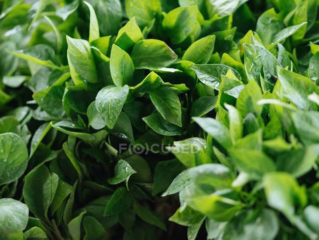Primer plano de hierbas frescas verdes en montón en el mercado del granjero - foto de stock