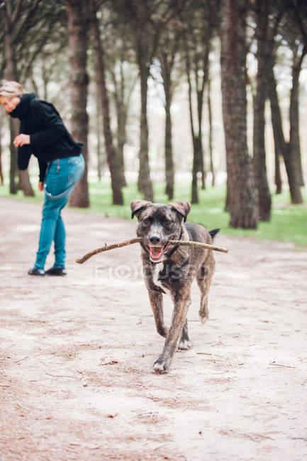 Großer brauner Hund mit Stock im Wald mit Frauchen im Hintergrund — Stockfoto