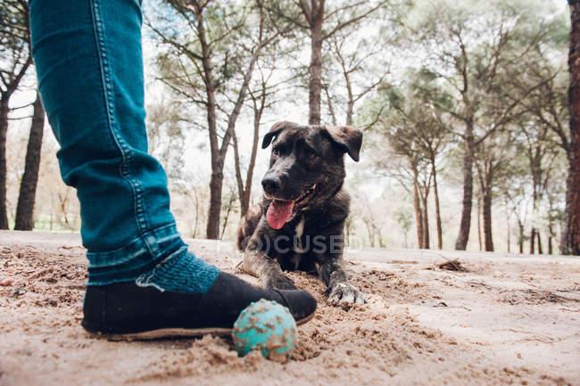 Большой коричневый собака, глядя на владельца ногу с мячом в лесу — стоковое фото