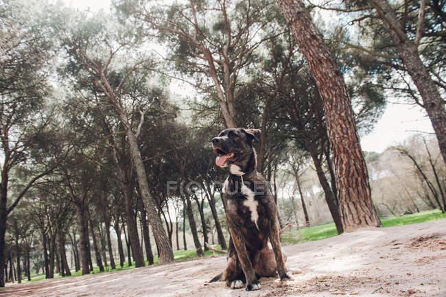 Gros chien brun assis dans la forêt avec la langue dehors et regardant loin — Photo de stock