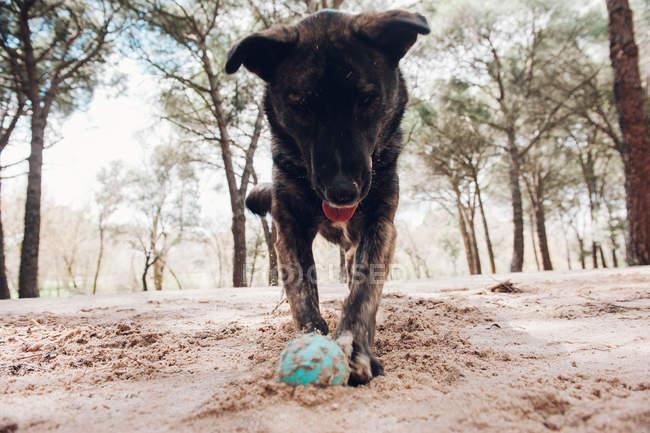 Gran perro marrón jugando en el bosque con pelota - foto de stock