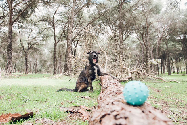 Big brown dog playing in forest with ball — Stock Photo