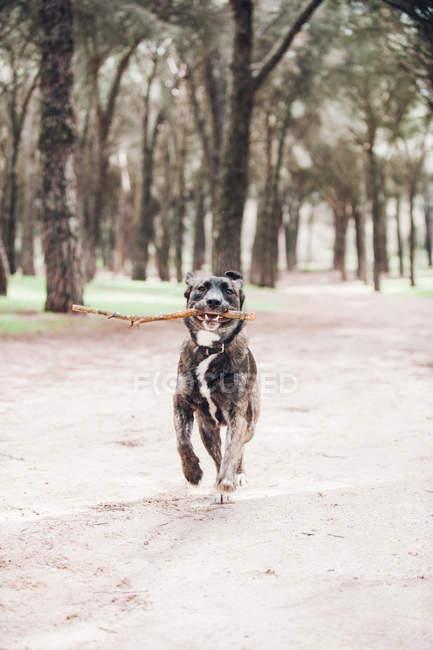 Большая коричневая собака бегает с палкой в лесу — стоковое фото