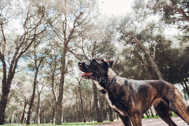 Grande cão marrom jogando de pé na floresta — Fotografia de Stock