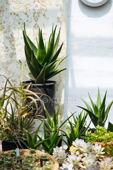 Serra rustica con soffitto di vetro pieno di vasi con cactus, piante grasse, fiori e altre piante nella giornata estiva con sole splendente — Foto stock