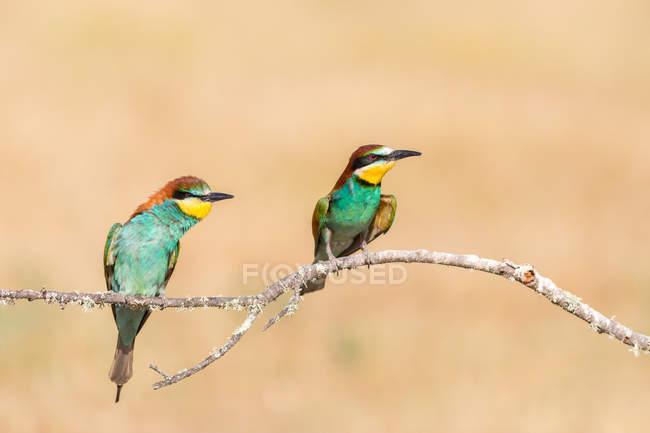 Pájaros brillantes sentados en rama sobre fondo crema - foto de stock