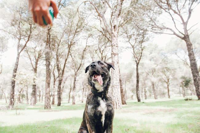 Большая коричневая собака смотрит на хозяина с мячом в лесу — стоковое фото