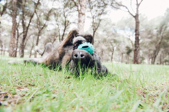 Grand chien brun jouant joyeusement dans la forêt avec balle — Photo de stock