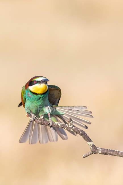 Brillante pájaro sentado en rama sobre fondo crema - foto de stock